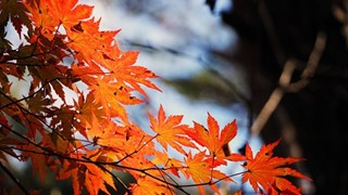 red-maple-leaf-507545_960_720.jpg